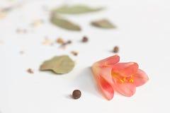 Rosa cliviablomma och peper Arkivbild