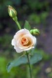 Rosa closeup för anbud Royaltyfria Bilder