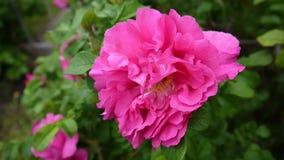 Rosa closeup för rosa färgblomma Videomaterial vid en statisk kamera arkivfilmer