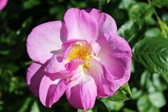 Rosa closeup för Violet Royaltyfri Bild