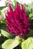 Rosa Closeupblomma Arkivbilder