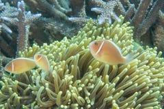 Rosa clownfish Arkivbild
