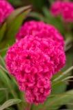 Rosa cockscomb Blume lizenzfreie stockbilder