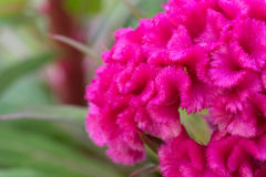 Rosa cockscomb Blume stockfotografie