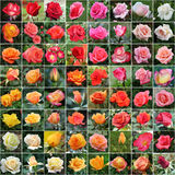 Rosa collage royaltyfri bild