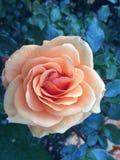 Rosa colorata albicocca Fotografia Stock