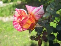 Rosa colorida de meu jardim Fotografia de Stock Royalty Free