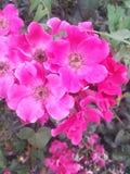 Rosa colorida del rosa Imagen de archivo