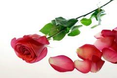 Rosa com as pétalas dispersadas imagens de stock
