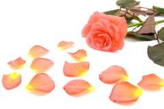 Rosa com folhas caídas imagens de stock