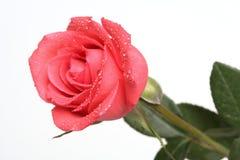 Rosa com gotas Imagens de Stock