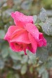 Rosa com gotas da água Fotos de Stock Royalty Free