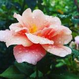 Rosa com gotas da chuva Fotografia de Stock