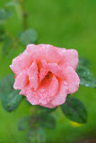 Rosa com gotas de orvalho Imagem de Stock Royalty Free