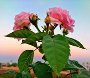 Rosa com máscaras do por do sol Fotografia de Stock