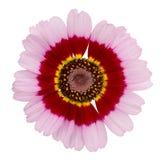 Rosa com o crisântemo vermelho e amarelo. Foto de Stock Royalty Free