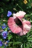 Rosa com uma papoila branca no fundo de centáureas azuis Fotografia de Stock Royalty Free