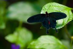 Rosa comune Swallowtail Fotografie Stock Libere da Diritti
