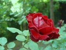 Rosa con fondo verde Fotografia Stock Libera da Diritti