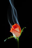 Rosa con fumo fotografia stock libera da diritti
