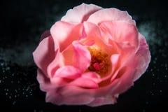 Rosa con i cristalli dello zucchero su fondo scuro Immagini Stock Libere da Diritti
