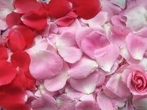 Rosa con i petali sul biglietto di S. Valentino di giorno fotografie stock