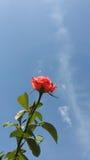 Rosa con il cielo Immagine Stock