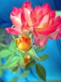 Rosa con il giardino dei germogli in primavera Fiori splendidi e romantici Fotografia Stock Libera da Diritti