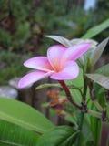 Rosa con la fine arancio del fiore di plumeria del frangipane su Fotografie Stock Libere da Diritti