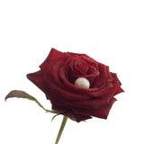 Rosa con la perla Fotografia Stock