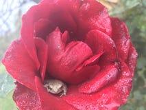 Rosa con la rana di albero Fotografie Stock Libere da Diritti