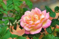 Rosa con la rosa del amarillo Foto de archivo libre de regalías
