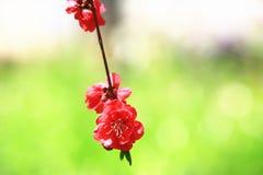 Rosa con las flores rojas del melocotón Fotos de archivo libres de regalías