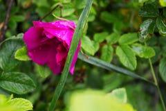 Rosa con las gotas de agua, rocío del rosa salvaje Fotos de archivo