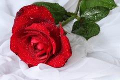 Rosa con las gotitas de agua - fondo blanco del rojo Foto de archivo libre de regalías