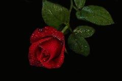 Rosa con las gotitas de agua - fondo negro del rojo Foto de archivo libre de regalías