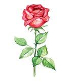 Rosa con las hojas, ejemplo del rojo de la acuarela Imagenes de archivo