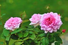 Rosa con las rosas púrpuras Fotos de archivo