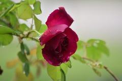 Rosa con le gocce della pioggia fotografia stock