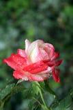 Rosa con le gocce di acqua Fotografia Stock