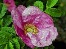 Rosa con le gocce di acqua dopo pioggia Fotografia Stock Libera da Diritti