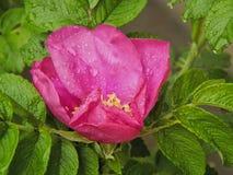Rosa con le gocce di acqua dopo pioggia Fotografie Stock Libere da Diritti