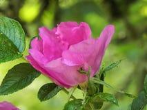 Rosa con le gocce di acqua dopo pioggia Immagini Stock