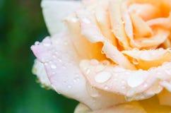 Rosa con le gocce di pioggia Fotografie Stock Libere da Diritti