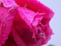 Rosa con le gocce di pioggia Immagini Stock