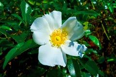 Rosa confederada que floresce em um dia de mola morno Fotografia de Stock Royalty Free