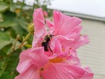 Rosa confederata con un'ape su  Sparato in Georgia Fotografia Stock Libera da Diritti