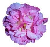 Rosa confederata con un fondo bianco Immagine Stock