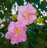 Rosa confederata in fioritura Immagini Stock Libere da Diritti