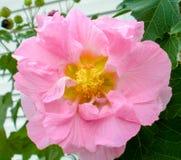Rosa confederata in fioritura Fotografia Stock Libera da Diritti